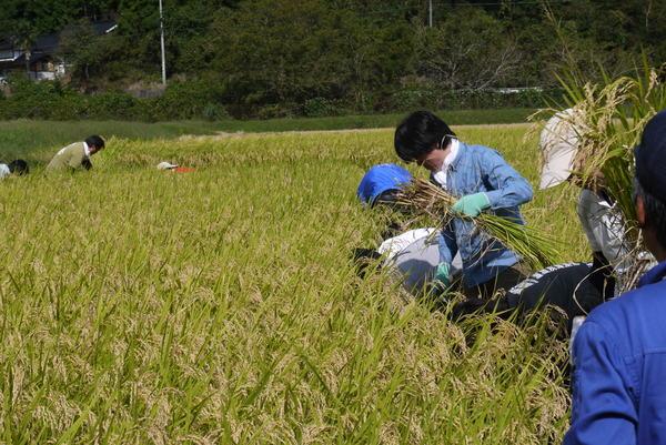 神力米の稲刈りを行ないました。